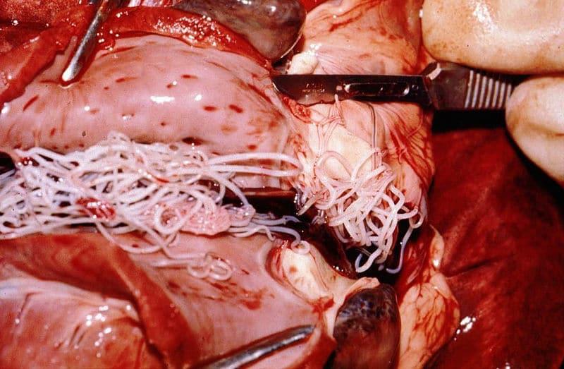 Herzwurm
