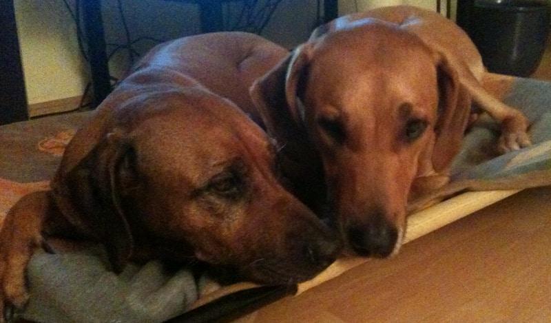 Hunde und Silvester