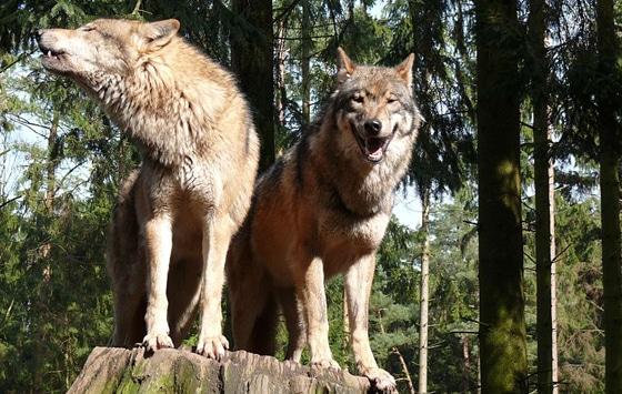 Foto eines Wolfspaares