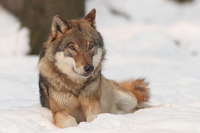 Wolf Foto: Wikipedia