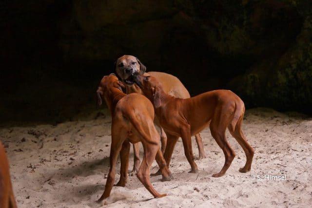 Zwei Junghunde