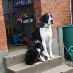 Milka – Doggen – Mix – sucht ab sofort neues Zuhause