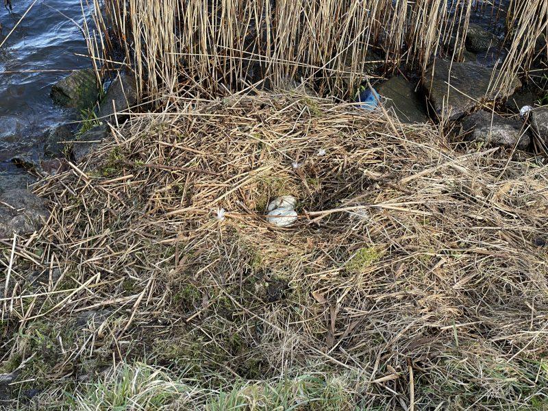 2 Schwaneneier im Nest